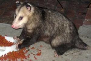 djurlivet i cape coral possum